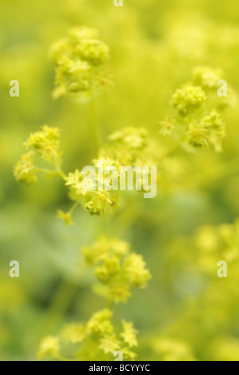 Alchemilla Mollis Lady's Mantle in spring - Stock Image