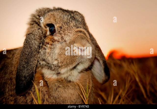 Close-up of rabbit at sunset - Stock-Bilder