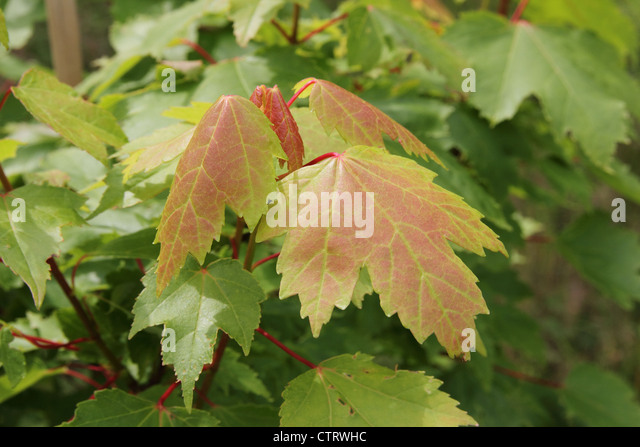 Red Maple ( Acer rubrum cultivar 'Brandywine' )  in summer - Stock Image