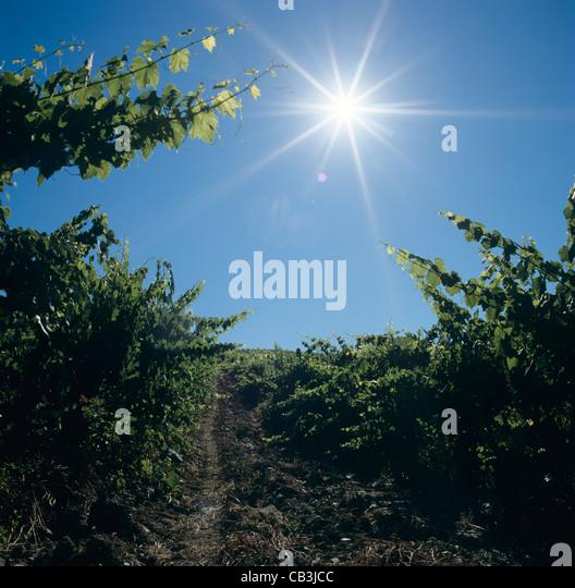 Looking into the rising sun in a Chianti vineyard near Siena, Tuscany, Italy - Stock Image