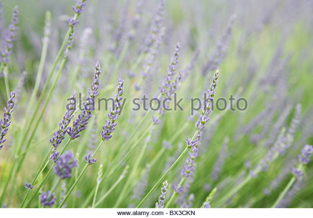close-up of lavender field in Provence - Stock Image
