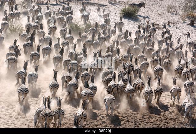 Zebra herd running - Stock Image