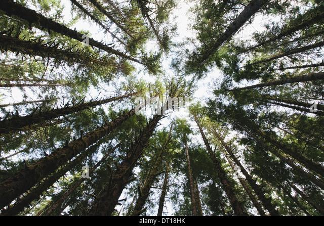 Olympic National Park Washington USA. View tree canopy temperate rainforest USA - Stock Image