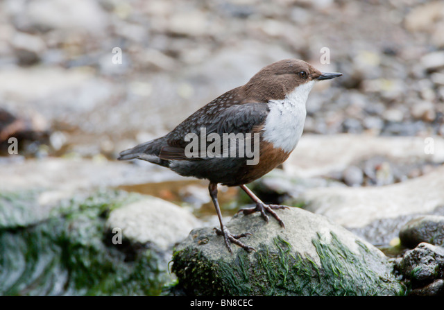 Dipper on the River Alyn, North Wales. - Stock Image