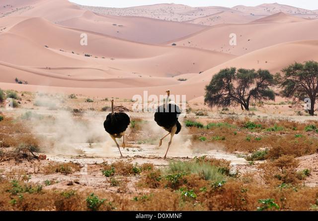 Africa Dunes Hills Namib Naukluft Park Namibia Sossusvlei afraid african charging horizontal ostrich bird running - Stock Image