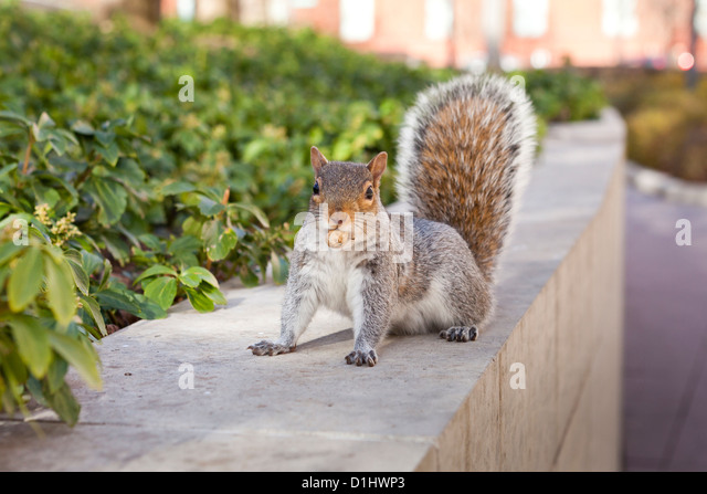 American red squirrel (Tamiasciurus hudsonicus) with peanut in mouth - USA - Stock Image