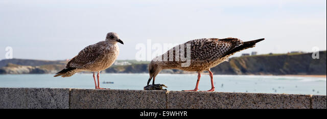 Seagulls eating on Newquay harbour wall Cornwall England UK - Stock Image