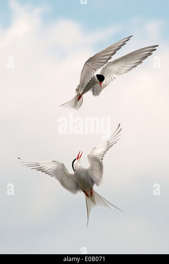 Germany, Schleswig-Holstein, Terns, sternidae - Stock-Bilder