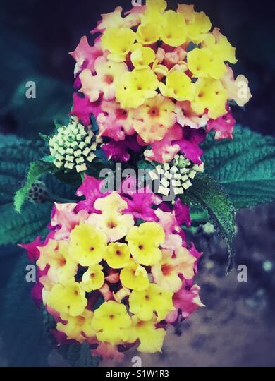Yellow pink Lantana Camara flowers - Stock Image
