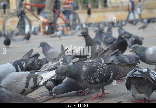 A flock of common Pigeons (Columbidae) gather in the Plaza Bolivar, Bogota, Colombia - Stock Image