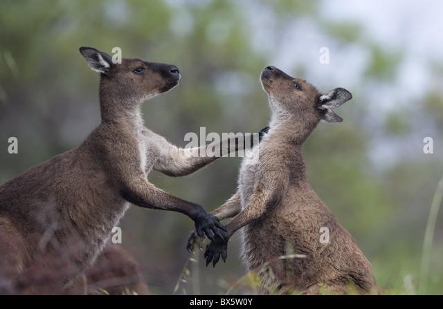 Kangaroo Island grey kangaroos (Macropus fuliginosus), Lathami Conservation Park, Kangaroo Island, South Australia, - Stock Image