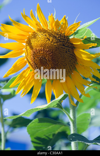 A big yellow sunflower with a blue sky background - Stock Image