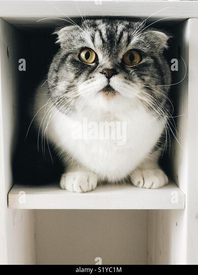 Scottish fold domestic cat - Stock Image