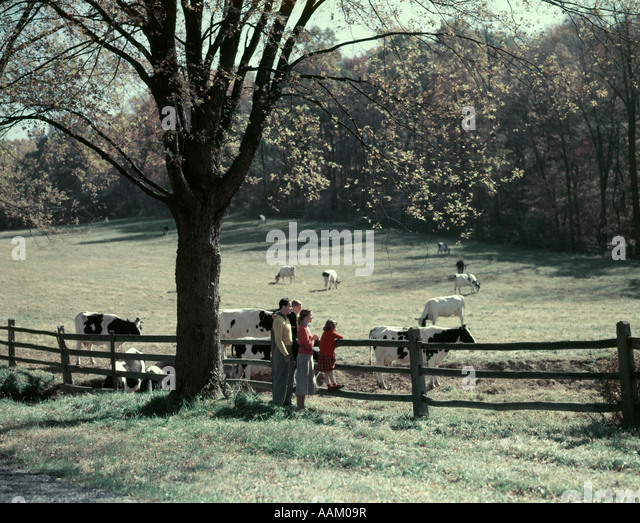1950s FAMILY 4 BY PASTURE FENCE AUTUMN TREE HOLSTEIN DAIRY COWS IN FIELD GRAZING FARM LANDSCAPE SPLIT RAIL FENCE - Stock Image