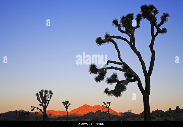 Joshua trees (Yucca brevifolia) silhouettes and hills, Joshua Tree National Park, California USA USA - Stock Image