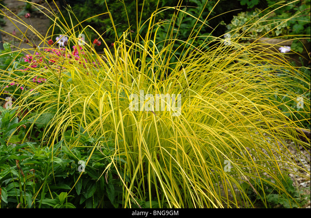 Golden variegated foliage stock photos golden variegated for Ornamental grasses for small spaces