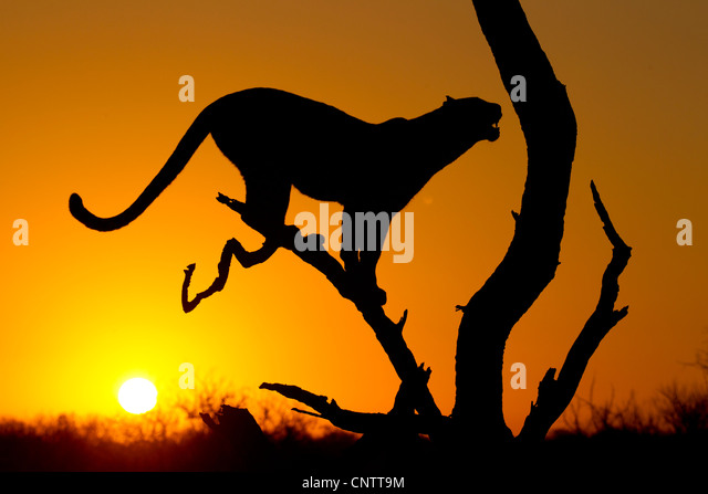 African Leopard (Panthera pardus) at sunrise, in Silhouette, South Africa - Stock Image