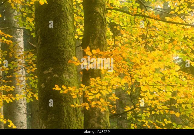 Autumn in Corkova Uvala, virgin mixed forest of Silver fir (Abies alba) European beech (Fagus sylvatica) and Spruce - Stock Image