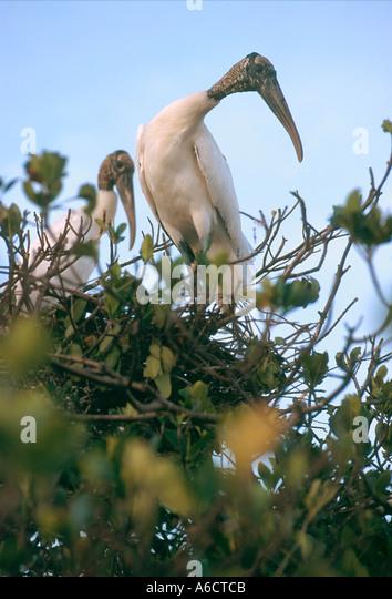 wood stork Mycteria americana Saint Lucie County PSL N Fork Saint Lucie River - Stock Image