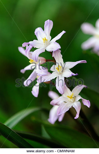 Chionodoxa forbesii Pink Giant'. Glory of the snow flower - Stock Image