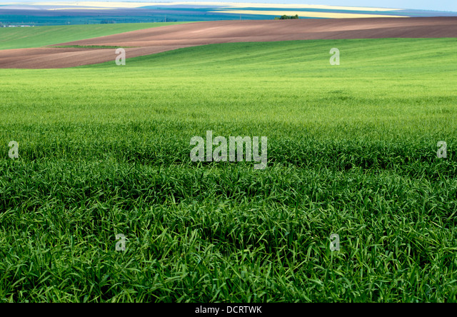 Spring landscape. Green wheat field. - Stock Image
