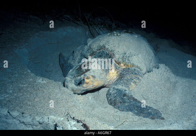 Loggerhead Sea Turtle Nesting on Beach Covering Nest after depositing eggs - Stock Image