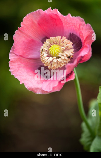 Papaver Somniferum Seed Head Stock Photos & Papaver ...