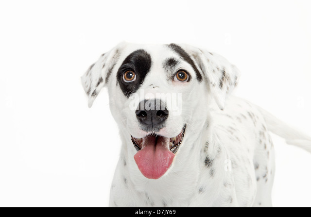 portrait of black and white spotted dalmatian staring close up to camera with black spot over eye against white - Stock Image