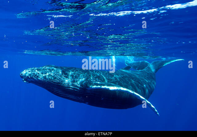 Underwater shot of a humpback whale, Tahiti, French Polynesia - Stock Image