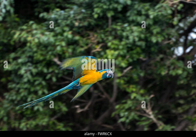 Flying  blue-and-yellow macaw, Loro Parque, Tenerife - Stock Image