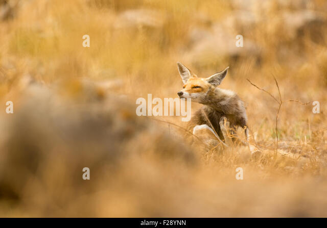 Red Fox (Vulpes vulpes). The Red Fox is the largest of the true foxes, as well as being the most geographically - Stock Image
