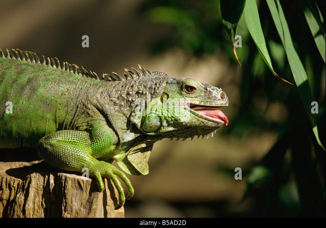 Green iguana Bali Indonesia Southeast Asia Asia - Stock Image