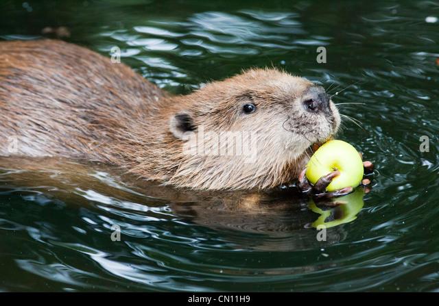 European or Eurasian Beaver - Castor fiber - Stock-Bilder
