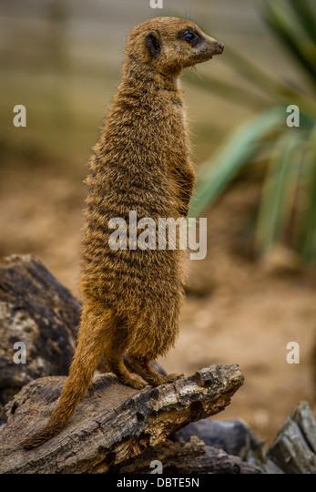 Meerkat on watch - Stock Image