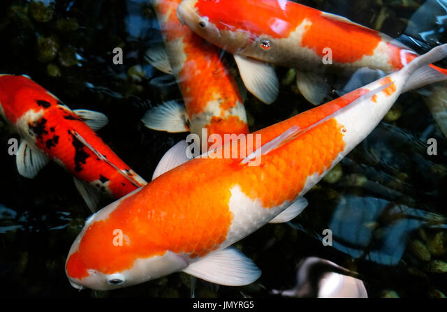 Koi carp in a lake stock photos koi carp in a lake stock for Orange coy fish