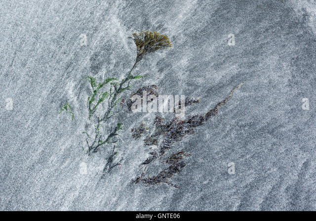 Seaweed among patterns formed by tidal movements of black volcanic sand and white granulated sea shells at Talisker - Stock Image