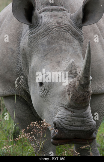 White Rhino close up, a little too close for comfort actually. - Stock Image