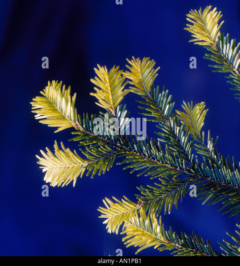 branch with fresh fir. Photo by Willy Matheisl - Stock Image