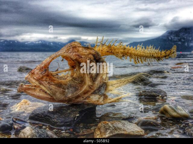 Drama on the beach. Coalfish carcass washed ashore on Nordic beach, Norway. - Stock Image