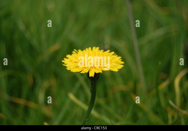 Dandelion ,Taraxacum, with grass background, Scotland. - Stock Image