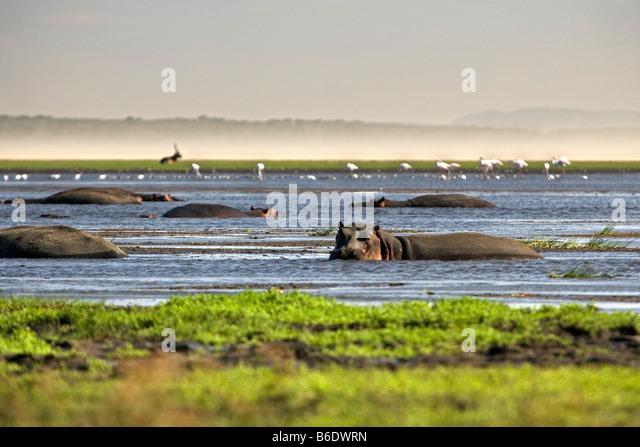South Africa, Sint Lucia, Greater Sint Lucia Wetlands, Hippos ( hippopotamus ) - Stock-Bilder