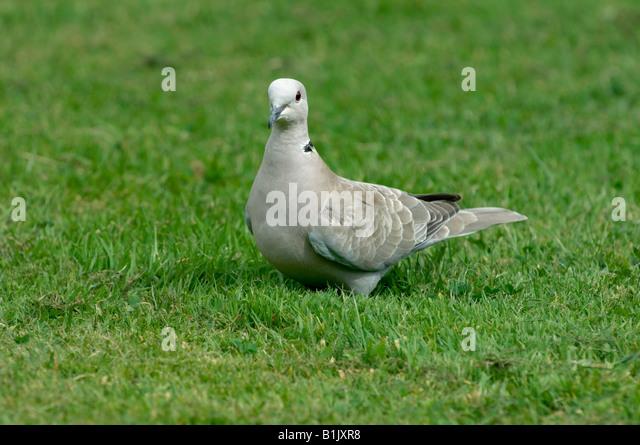 Collared dove on grass Devon - Stock Image