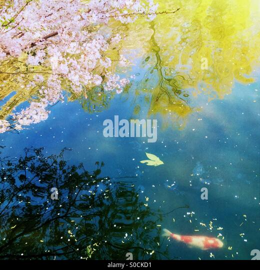White and orange koi fish swimming in a pond with cherry blossom petals scattered on the water surface. Willow and - Stock Image