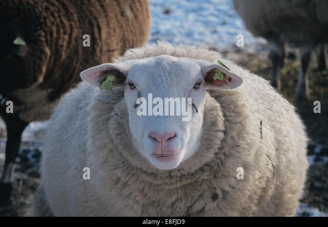 Close-up of sheep - Stock Image