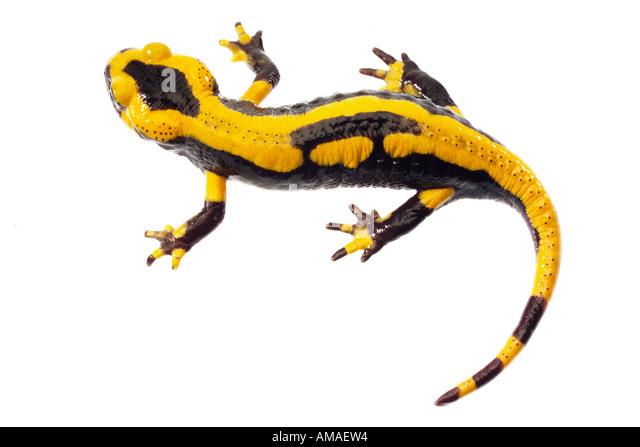 Fire salamander - Stock Image