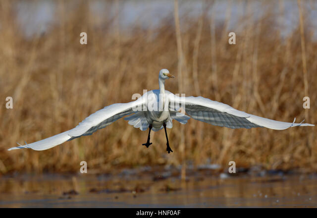 Great Egret (Ardea alba) approaching during landing, Middle Elbe Biosphere Reserve, Saxony-Anhalt, Germany - Stock Image