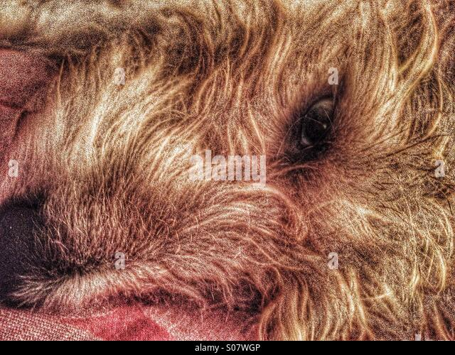 Close up of resting dogs face - Stock Image