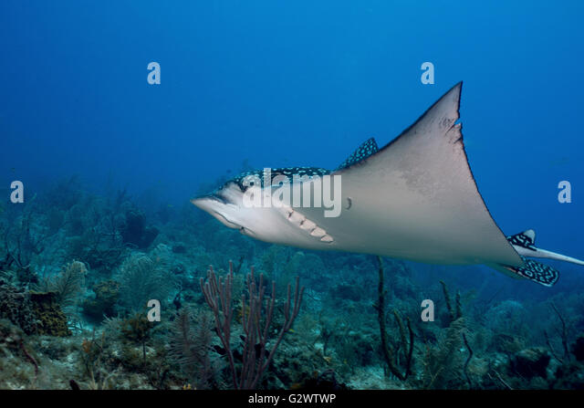 A Spotted eagle ray soars across the reef. - Stock-Bilder