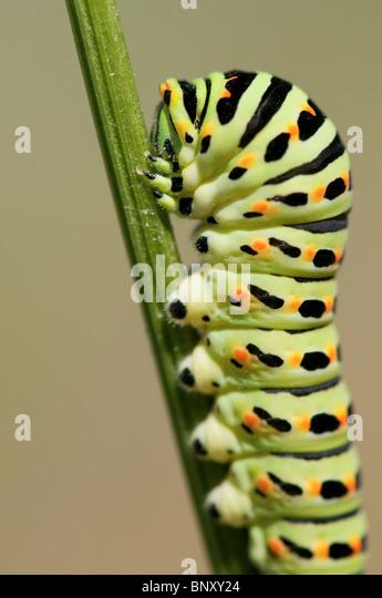 British Swallowtail caterpillar - Stock Image