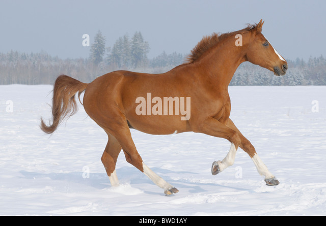 German warmblood horse galloping in the winter paddock - Stock Image